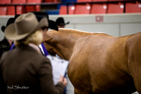 Halter - AQHA Amtr Yearling Stallions