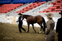 Halter - AQHA Amateur 3 yr old Geldings